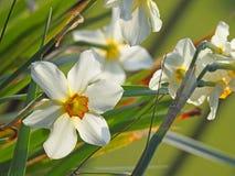 Narcisos de la primavera en la plena floración Fotografía de archivo