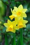 Narcisos de la trompeta del enano amarillo Foto de archivo libre de regalías