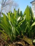 Narcisos del crecimiento de la primavera imágenes de archivo libres de regalías