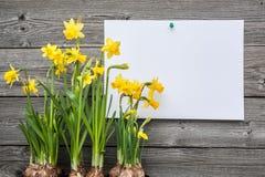 Narcisos del mensaje y de la primavera Foto de archivo