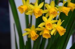 Narcisos detallados imagenes de archivo