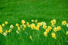 Narcisos e hierba Fotos de archivo