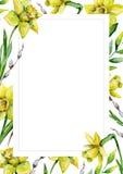 Narcisos e hierba verde y gatito-sauce en fondo de la flor blanca Fotos de archivo libres de regalías