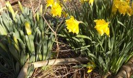 Narcisos en Crookham, Northumberland, Inglaterra Reino Unido Fotografía de archivo libre de regalías