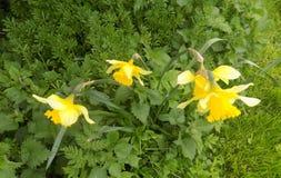 Narcisos en Crookham Northumerland, Inglaterra Reino Unido Imagenes de archivo