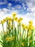 Narcisos en día asoleado con el cielo azul Fotos de archivo