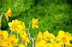 Narcisos en el parque imagen de archivo libre de regalías