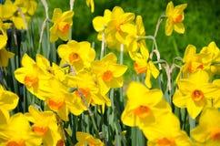 Narcisos en el parque imagen de archivo