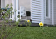 Narcisos en el patio trasero imágenes de archivo libres de regalías