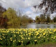Narcisos en el Riverbank Fotografía de archivo