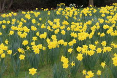 Narcisos en flor Foto de archivo