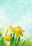 Narcisos en hierba de la primavera Imagenes de archivo