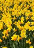 Narcisos en Holanda Foto de archivo libre de regalías