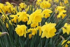 Narcisos en la floración Imagen de archivo libre de regalías