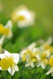 Narcisos en la luz del sol Fotos de archivo libres de regalías