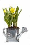 Narcisos en la regadera de plata imagen de archivo libre de regalías