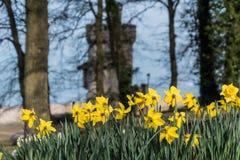 Narcisos en la torre Ryde de Appley Imágenes de archivo libres de regalías