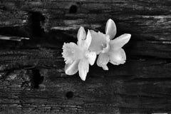 Narcisos en los posts Fotografía de archivo