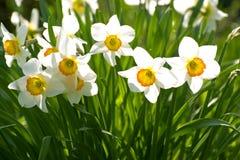 Narcisos en los rayos del sol brillante. Imágenes de archivo libres de regalías