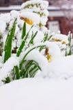 Narcisos en nieve Foto de archivo