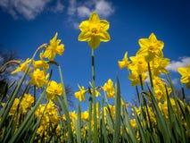 Narcisos en primavera Foto de archivo