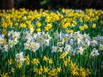 Narcisos en primavera Imagen de archivo libre de regalías