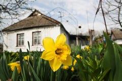 Narcisos florecientes Fotografía de archivo libre de regalías