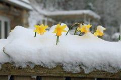 Narcisos florecientes de la primavera Imagen de archivo