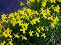 Narcisos florecientes miniatura amarillos en el jard?n verde casero imagen de archivo libre de regalías