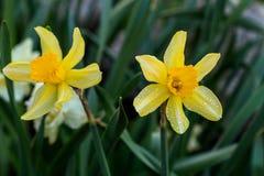 Narcisos hermosos de Cyclamineus del verano Foto de archivo