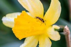 Narcisos hermosos de Cyclamineus del verano Fotografía de archivo
