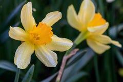 Narcisos hermosos de Cyclamineus del verano Fotografía de archivo libre de regalías