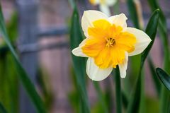 Narcisos hermosos de la canasta del verano Fotografía de archivo