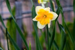 Narcisos hermosos de la canasta del verano Fotos de archivo libres de regalías