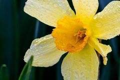Narcisos hermosos de la trompeta del verano Imagen de archivo libre de regalías