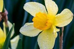 Narcisos hermosos de la trompeta del verano Fotografía de archivo