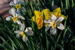 Narcisos hermosos de Poeticus del verano Imagen de archivo libre de regalías