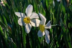 Narcisos hermosos de Poeticus del verano Fotografía de archivo libre de regalías