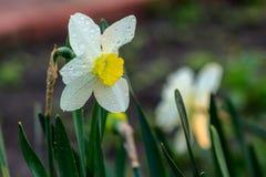 Narcisos hermosos de Poeticus del verano Imagen de archivo