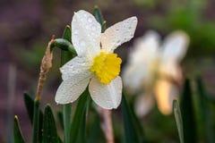 Narcisos hermosos de Poeticus del verano Fotos de archivo