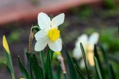 Narcisos hermosos de Poeticus del verano Imágenes de archivo libres de regalías