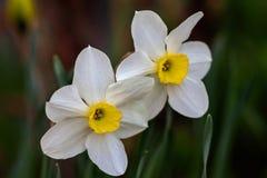 Narcisos hermosos de Poeticus del verano Fotografía de archivo