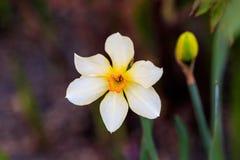 Narcisos hermosos de Poeticus del verano Foto de archivo