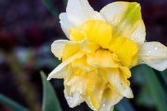 Narcisos hermosos de Terry del verano Foto de archivo libre de regalías