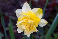 Narcisos hermosos de Terry del verano Fotografía de archivo libre de regalías