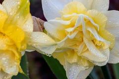 Narcisos hermosos de Terry del verano Foto de archivo