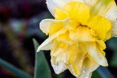 Narcisos hermosos de Terry del verano Imagen de archivo libre de regalías
