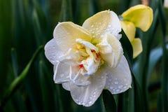 Narcisos hermosos de Terry del verano Fotografía de archivo