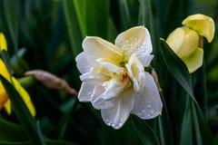 Narcisos hermosos de Terry del verano Fotos de archivo libres de regalías