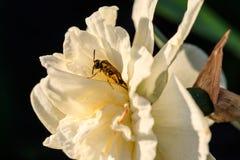 Narcisos hermosos de Terry del verano con la abeja Foto de archivo